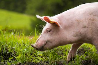 freies, glueckliches Schwein erschreckt Analytikerin