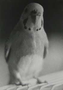 Schwarzweiß-Fotografie von einem interessiert blickenden Wellensittich