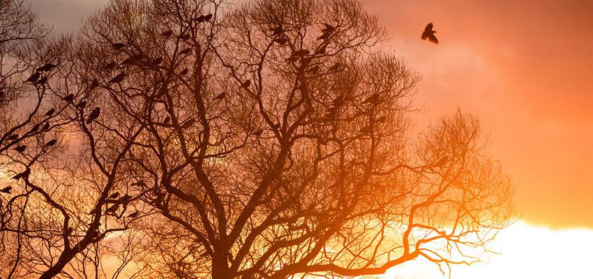 Blätterloser Baum mit vielen sitzenden Krähen vor Morgensonne mit rotorangem wolkigen Himmel